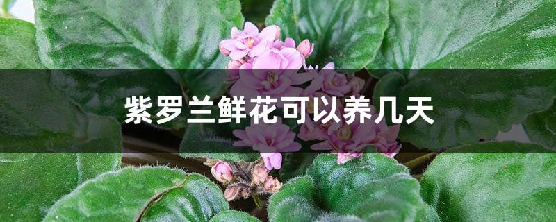 紫罗兰鲜花可以养几天,怎么养