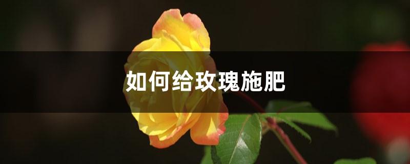 玫瑰施肥方法,用什么肥好